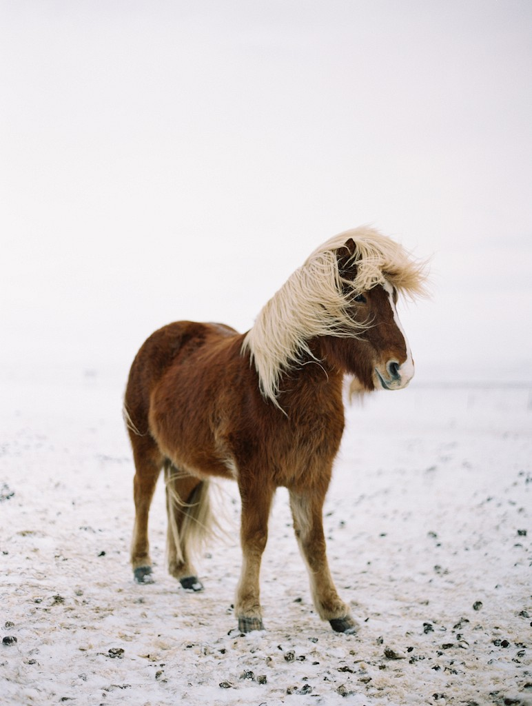 Iceland Honeymoon - Icelandic Horse - Brumley & Wells